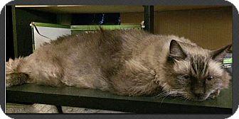 Ragdoll Cat for adoption in Gilbert, Arizona - Fred