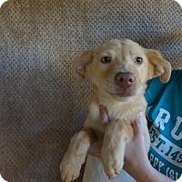 Adopt A Pet :: Lolli - Oviedo, FL