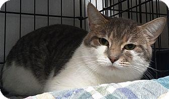Domestic Shorthair Cat for adoption in Dallas, Texas - STUD