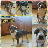 Adopt A Pet :: Charlie pending adoption - Manchester, CT