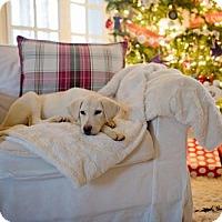 Adopt A Pet :: Scout - Warrington, PA