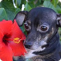 Adopt A Pet :: Luna - Englewood, FL
