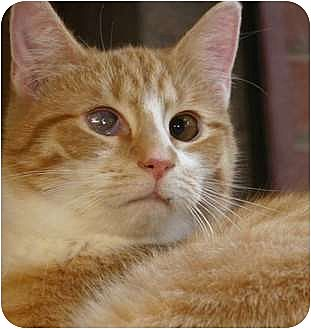 Cat for adoption in Winston-Salem, North Carolina - John Deere