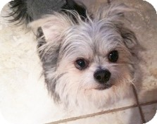 Yorkie, Yorkshire Terrier Mix Dog for adoption in Orange, California - Monroe