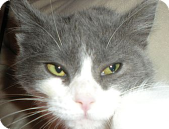 Domestic Shorthair Cat for adoption in Hood River, Oregon - Poppy