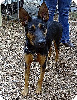 German Shepherd Dog/Doberman Pinscher Mix Dog for adoption in SAN ANTONIO, Texas - DORA / GUINNESS