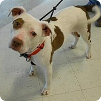 Pit Bull Terrier Mix Dog for adoption in Irmo, South Carolina - Star
