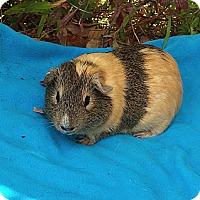 Adopt A Pet :: Lance - Fullerton, CA