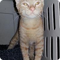 Adopt A Pet :: Tango - Gilbert, AZ