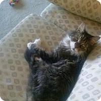Adopt A Pet :: Toni (Courtesy Post) - Ashland, MA