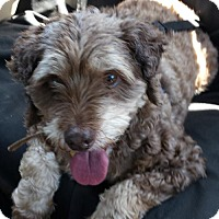 Cockapoo Mix Dog for adoption in Etters, Pennsylvania - Coco