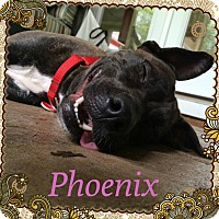 Plott Hound/Akita Mix Dog for adoption in Tallahassee, Florida - Phoenix
