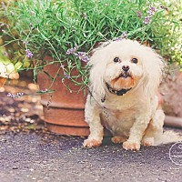 Shih Tzu Mix Dog for adoption in Jacksonville, Florida - Bebe