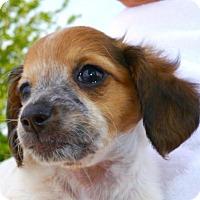 Adopt A Pet :: Daisy Blume - Houston, TX