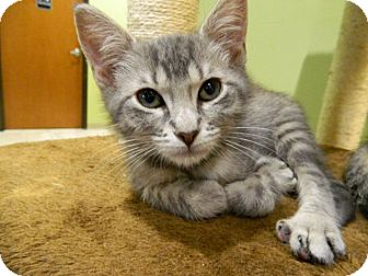 Domestic Shorthair Kitten for adoption in The Colony, Texas - Willis