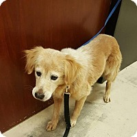 Golden Retriever Dog for adoption in Murrells Inlet, South Carolina - River