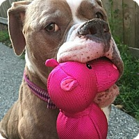 American Bulldog Dog for adoption in Seattle, Washington - Faith