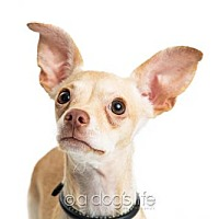 Chihuahua Puppy for adoption in Tempe, Arizona - Chase