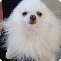 Pomeranian Dog for adoption in Temecula, California - PJ