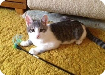 Domestic Shorthair Kitten for adoption in Colmar, Pennsylvania - Larry