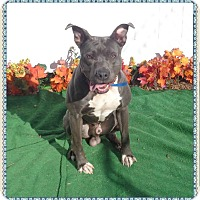 American Pit Bull Terrier Mix Dog for adoption in Marietta, Georgia - ROLF