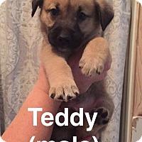 Adopt A Pet :: Teddy - Olympia, WA