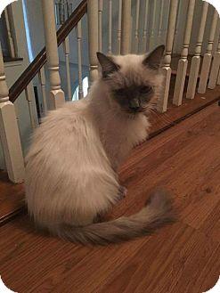 Himalayan Kitten for adoption in ROSENBERG, Texas - Luna