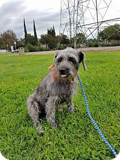 Standard Schnauzer Mix Dog for adoption in Los Angeles, California - Emmy