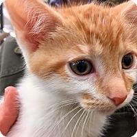 Adopt A Pet :: Two Dots - Warren, OH