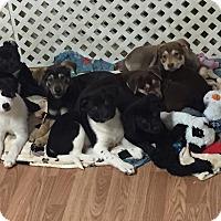 Adopt A Pet :: 8 Puppies - Crystal Lake, IL