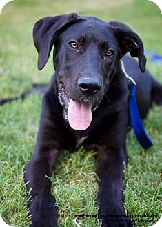 Great Dane/Great Pyrenees Mix Puppy for adoption in San Antonio, Texas - Brooklyn