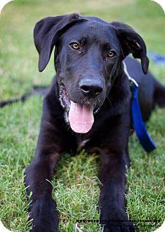 Brooklyn Adopted Puppy San Antonio Tx Great Dane