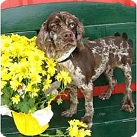 Adopt A Pet :: Sinatro - Sugarland, TX