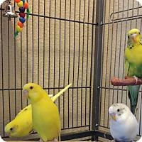 Adopt A Pet :: Huey, Dewey, Louie & Donald - Tampa, FL