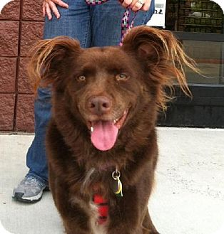 Australian Shepherd/Retriever (Unknown Type) Mix Dog for adoption in Winder, Georgia - Winnie