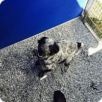 Adopt A Pet :: Lizzie - Cashiers, NC