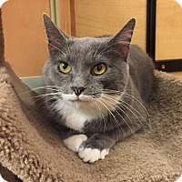 Domestic Shorthair Cat for adoption in Monroe, Georgia - Phoebe