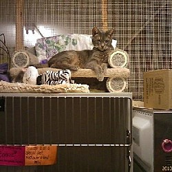 Photo 3 - Domestic Shorthair Cat for adoption in Westville, Indiana - Chester