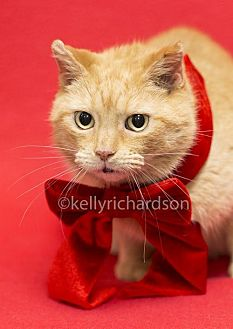 Domestic Shorthair Cat for adoption in Oviedo, Florida - Abigale