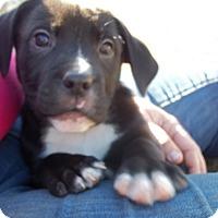 Adopt A Pet :: Persephone Adoption pending - Manchester, CT