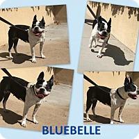 Adopt A Pet :: Bluebelle - Huntington Beach, CA