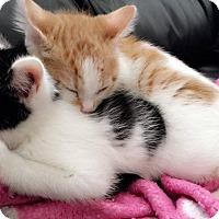 Adopt A Pet :: Sylvester - Covington, KY