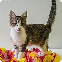 Domestic Shorthair Cat for adoption in Sandusky, Ohio - TIKI