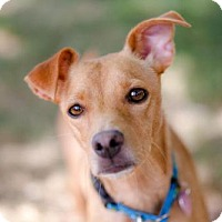 Adopt A Pet :: Red - Denver, CO