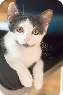 Domestic Shorthair Kitten for adoption in Chicago, Illinois - Fitz