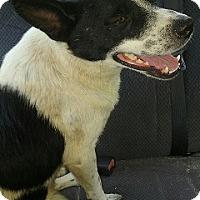 Adopt A Pet :: Dino - Irmo, SC