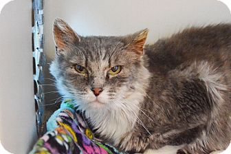 Domestic Shorthair Cat for adoption in Lincoln, Nebraska - Cersei