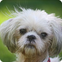 Shih Tzu Mix Dog for adoption in New York, New York - Bailey