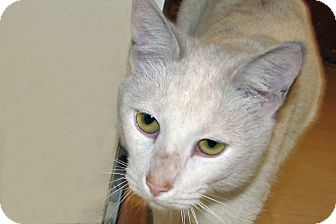 Domestic Shorthair Cat for adoption in Ruidoso, New Mexico - Gadget