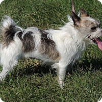 Yorkie, Yorkshire Terrier/Standard Schnauzer Mix Dog for adoption in Franklin, Tennessee - LOLA FOSTER NEEDED